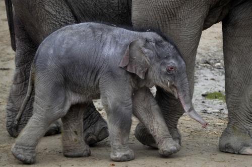 kiselefant1