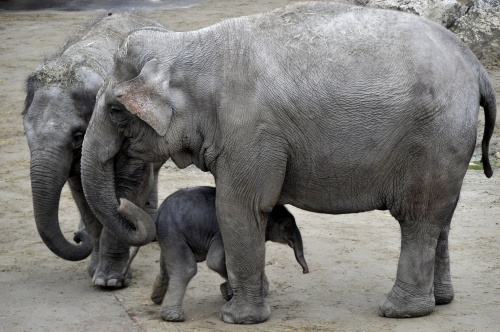 kiselefant2