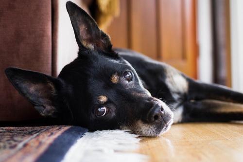Cukorbeteg kutyus