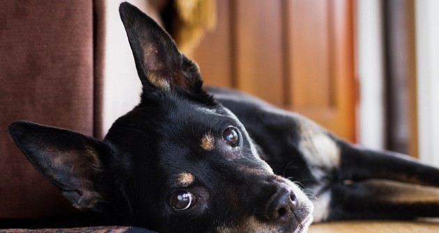 Minden századik kutya diabéteszben szenved