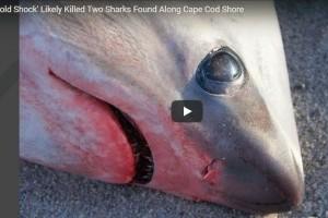 Az Egyesült Államok keleti partvidékén olyan hideg van, hogy még a cápák is halálra fagyhatnak