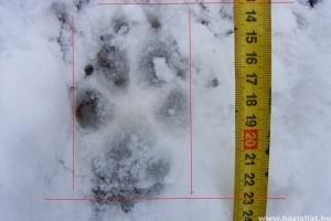 Valószínűleg farkas nyomát találták meg a Börzsönyben