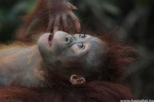 Több mint 100 ezer orangutánt öltek meg Borneón 16 év alatt