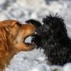 Kennelköhögés: ismét fertőz a kutyaközösségek réme