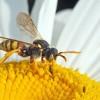 Méhecske hotel magányos méheknek kiadó