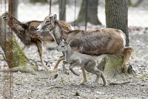 Életrevaló muflonok és még cuki vaddisznók a Budakeszi Vadaspark újszülöttjei