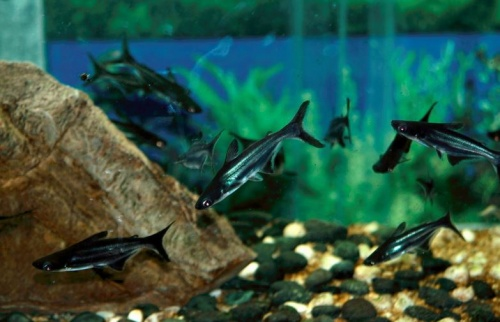 capaharcsa_akvarium