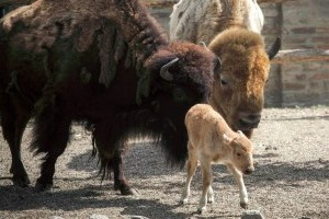 Nagyon ritka, fehér bölény született a belgrádi állatkertben