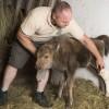 Gondozók nevelik a Nyíregyházi Állatpark nemrég született bölényét