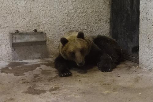 kobor_medve2