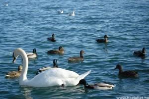 Nyáron se etessük a vízimadarakat!