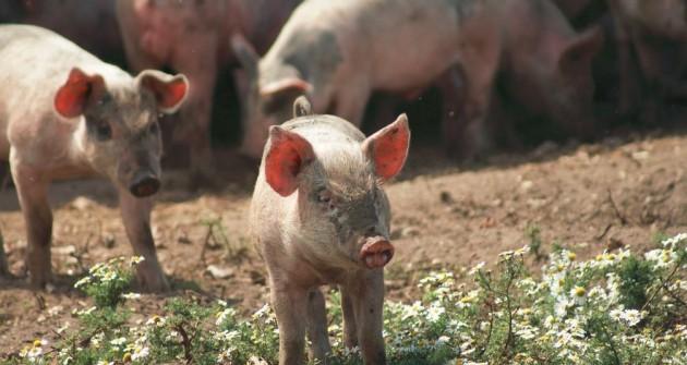 Gyógynövény alapú takarmány-kiegészítők a kevesebb antibiotikumért