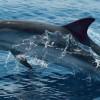 Visszatértek a közönséges delfinek a horvát Adriára