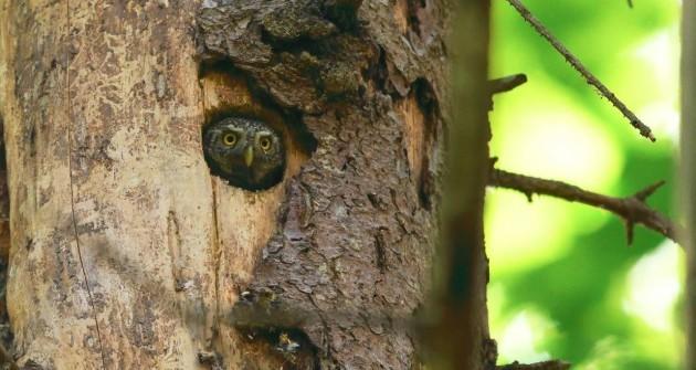 Új madárfajok találtak otthonra az Őrségben