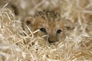 A vadonban már kihalt berber oroszlán született egy cseh állatkertben