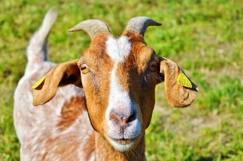 goat-2515505_1280