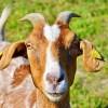 Mosolyogj, ha kecskével találkozol!