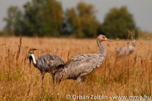 Darufigyelés hétvégén a Szegedi Fehér-tónál
