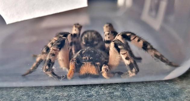 Óriási, szőrős pókot találtam, mi lehet?