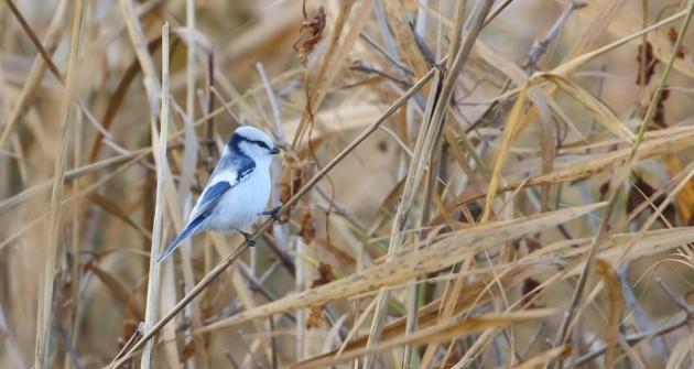Gyönyörű kis új madárkát - lazútcinegét -  figyeltek meg Magyarországon