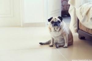 Bizonyított: az elhízott kutyák rövidebb életűek
