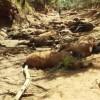 Vadállatok tömegei pusztulnak el a forró ausztrál nyárban