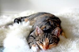 Macskanátha: ezért számít az egyik legveszélyesebb macskabetegségnek