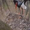Új feketególyapár foglalta el a bekamerázott gemenci gólyafészket