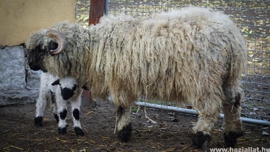Különleges kisbárány született: wallisi feketeorrú báránnyal várják a Húsvétot