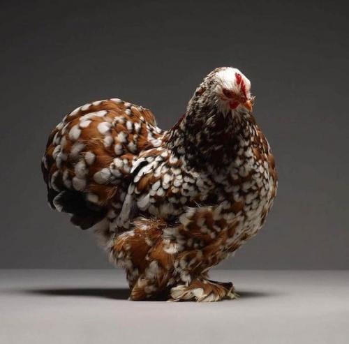 csirke5