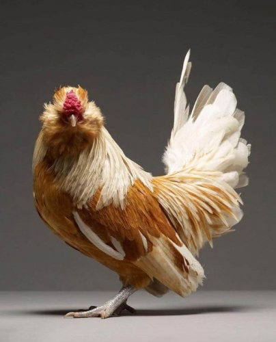csirke9