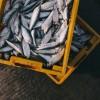 A tengerek túlhalászatára keresnek megoldást magyar kutatók