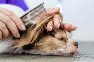 A kutyák tavaszi szőrápolása: nyírjam vagy ne nyírjam?