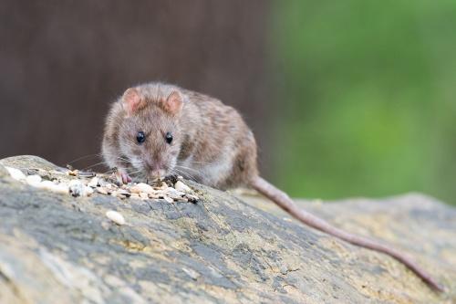 brown-rat-2115585_1280