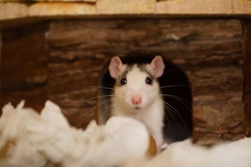rat-1759492_1280