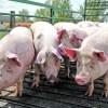 Szigorodnak az állatszállítás feltételei az extrém hőség miatt