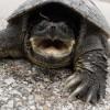 A kőröshegyi teknősfarmon helyezték el a Zalában talált aligátorteknőst