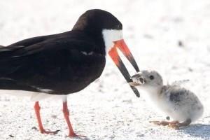 Csikkel etette fiókáját egy madár a floridai tengerparton