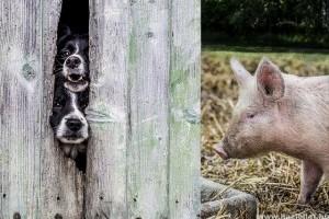 Így kommunikálnak velünk a kutyák és a törpemalacok