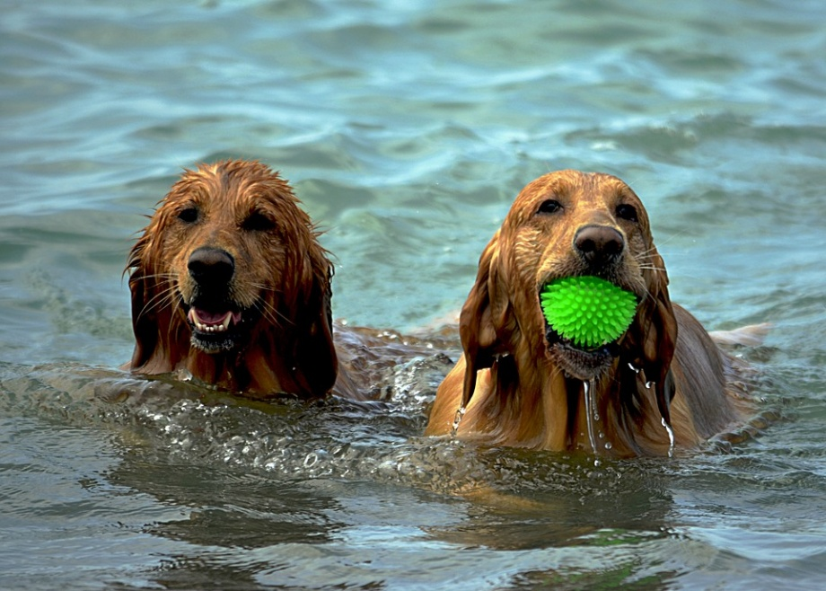 dogs-1642367_960_720
