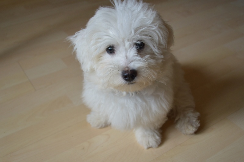 dog-dog-like-mammal-maltese-dog-breed-vertebrate-dog-breed-group-1419126-pxhere.com