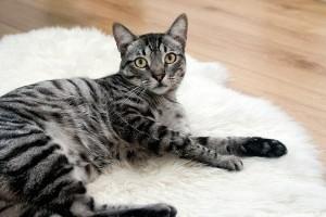 Milyen oltásokat kell kapnia a macskának?
