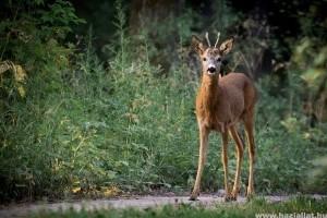 Fokozott figyelmet kér az autósoktól az őzek párzási időszakában a vadászati védegylet