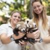Ennél cukibbat ma nem látsz - Vörös macskamedvék születtek Nyíregyházán