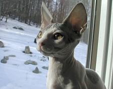 szfinx, macska, biztosítás, álla