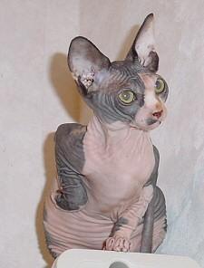 szfinx, macska, állat, biztosítás