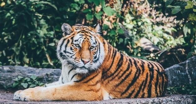 Évente közel 120 tigris esik áldozatul az orvvadászoknak