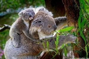 Így mentenék meg a koalákat a kipusztulástól