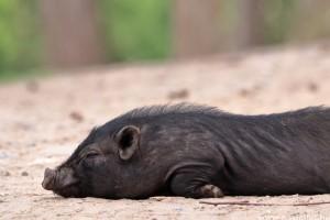 Az afrikai sertéspestis a kedvencként tartott malacokra is veszélyes