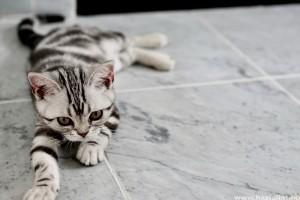 A világ legdrágább macskafajtái